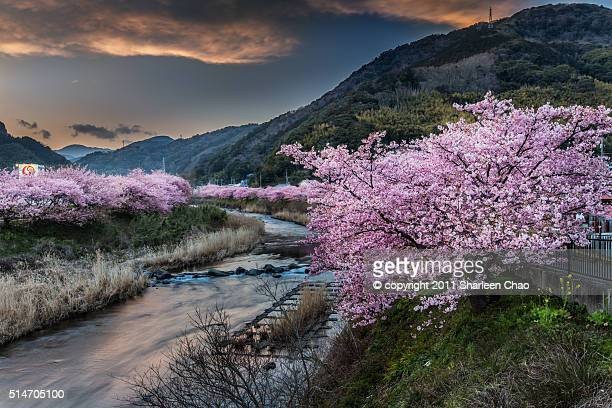 cherry blossoms with sunset tone - shizuoka stock photos and pictures