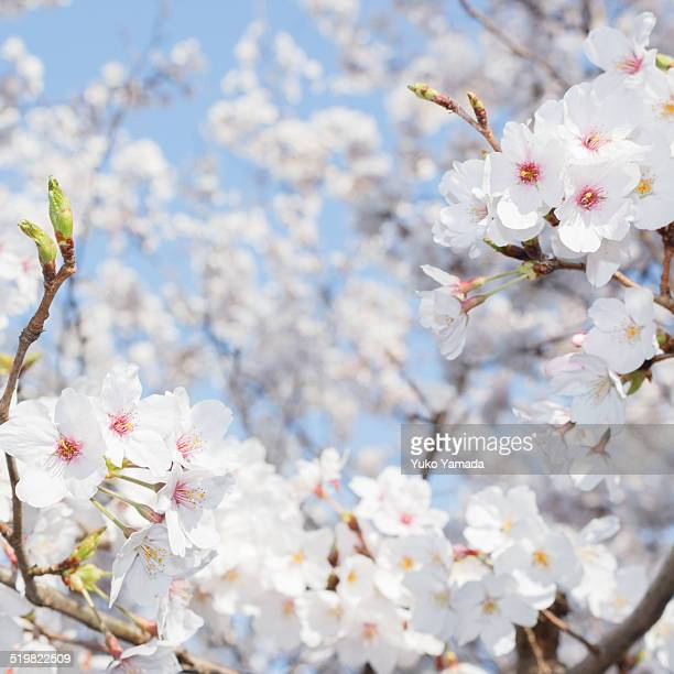 Cherry blossoms with the blue sky