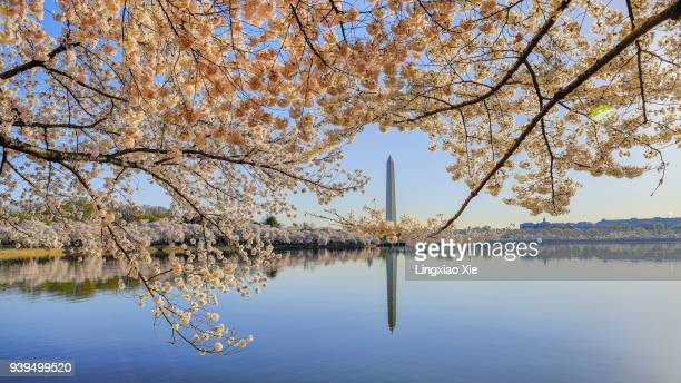 Cherry Blossoms with Washington Monument reflected in Tidal Basin, Washington DC