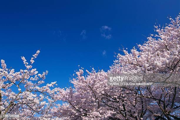 cherry blossoms, yamagata prefecture, honshu, japan - 山形県 ストックフォトと画像