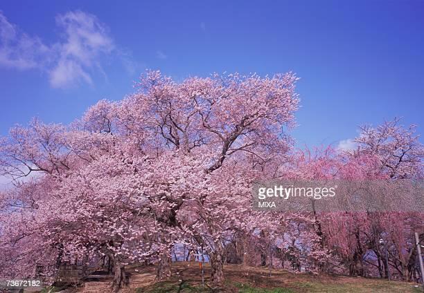 cherry blossoms, yamagata prefecture, japan - 山形県 ストックフォトと画像