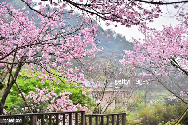 cherry blossoms @ yang ming san national park - hanami stock pictures, royalty-free photos & images