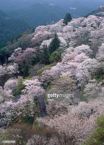 Cherry Blossoms, Yoshino, Yoshino, Nara, Japan