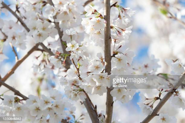 cherry blossoms_1 - ian gwinn stock pictures, royalty-free photos & images
