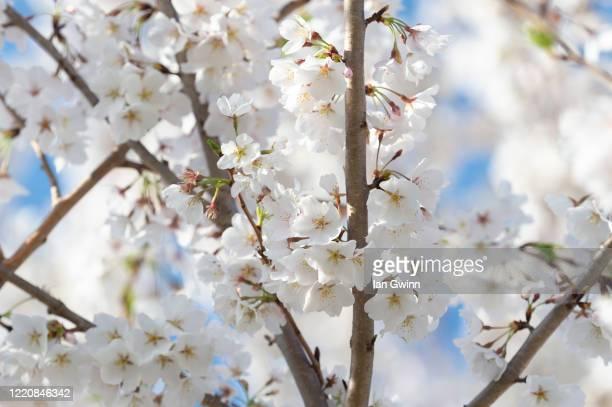 cherry blossoms_1 - ian gwinn ストックフォトと画像