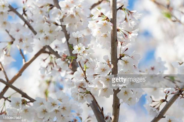 cherry blossoms_2 - ian gwinn stock pictures, royalty-free photos & images