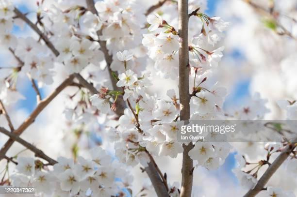 cherry blossoms_2 - ian gwinn ストックフォトと画像