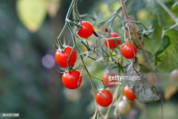 Cherry cocktail tomato plant