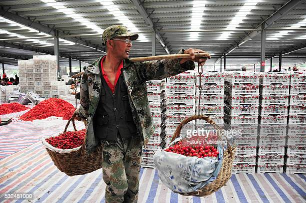 Cherry farmers work in a wholesale market on May 19 2016 in Yantai China Feature China / Barcroft Images LondonT44 207 033 1031...