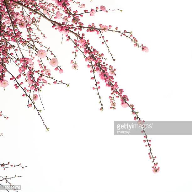 cherry  flower - branch stock pictures, royalty-free photos & images