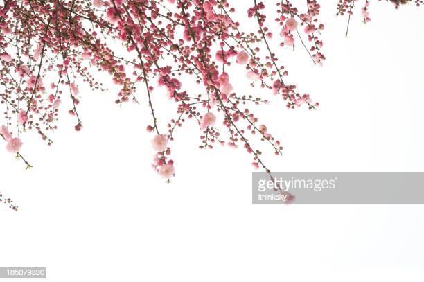 Kirsche Blumen