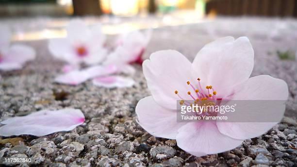 Cherry flowers fallen on ground