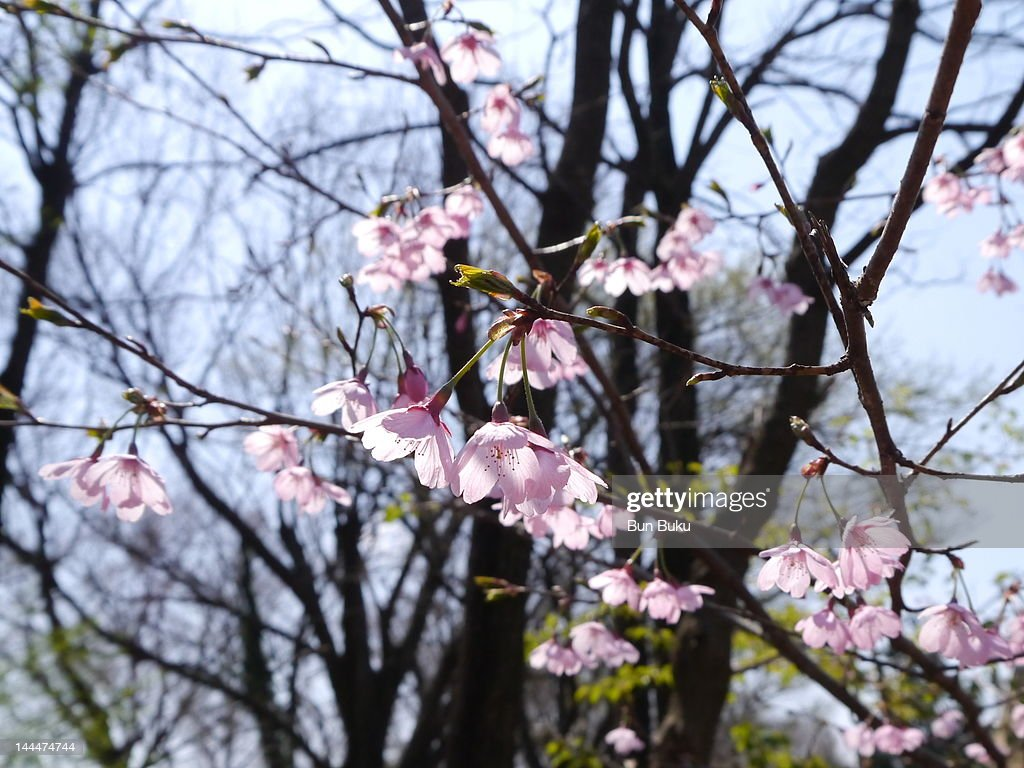 Cherry flowers : Stock Photo