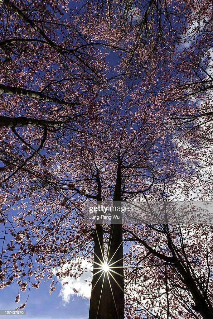 Cherry Forest : Foto de stock