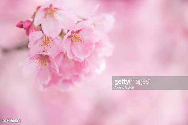 cherry in full glory - 桜 ストックフォトと画像