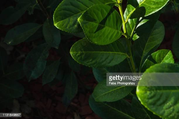 cherry laurel - hausgarten stockfoto's en -beelden