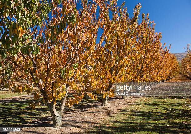 cherry orchard in autumn, cromwell - otago region stock pictures, royalty-free photos & images