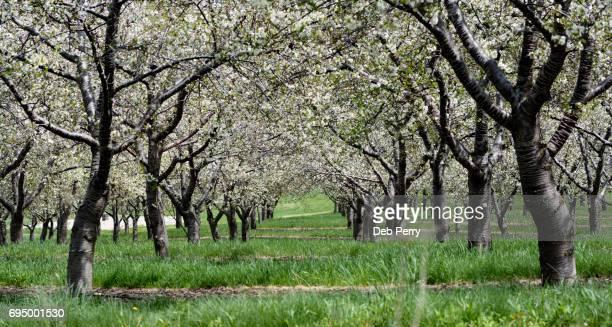 cherry orchard in bloom - traverse city fotografías e imágenes de stock
