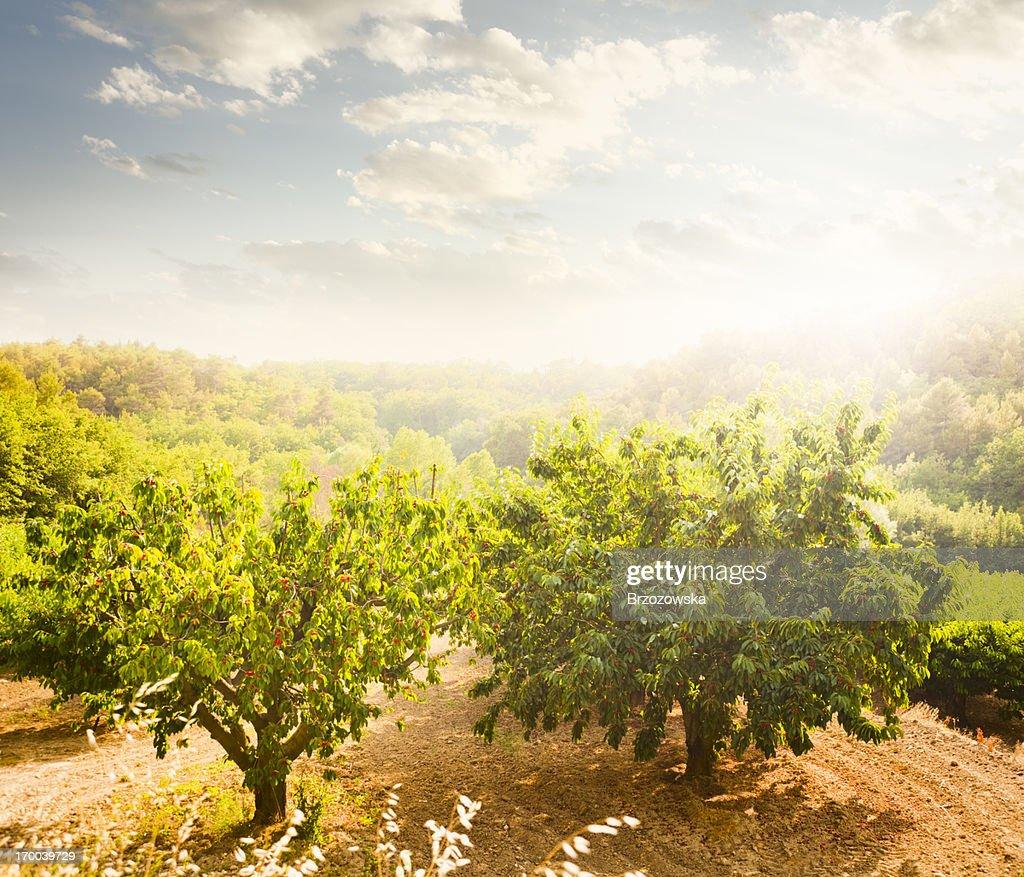 Cherry Orchard : Stock Photo