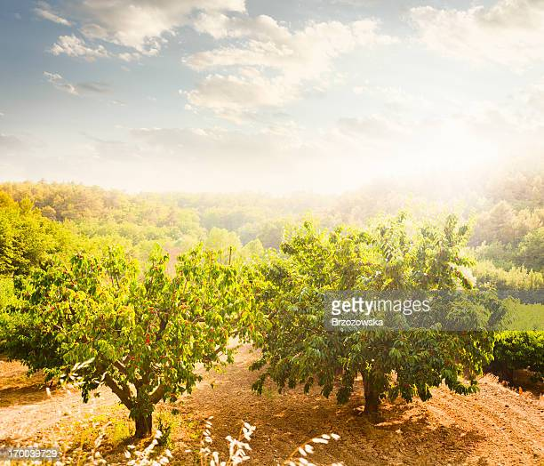 cherry orchard - fruit tree stock pictures, royalty-free photos & images