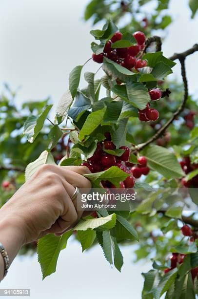 cherry picking in the lorraine region of france - morhange photos et images de collection