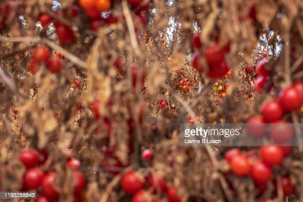 cherry ripe - lianne loach foto e immagini stock