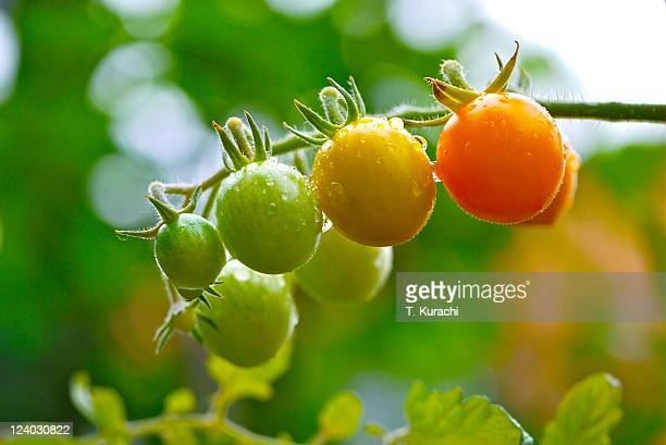 cherry  tomato in garden - unripe stock photos and pictures