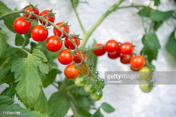 cherry tomato plant on balcony - plant de tomate photos et images de collection