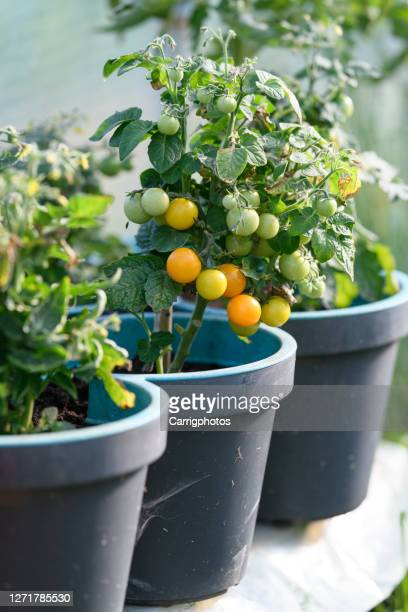 cherry tomatoes growing on tomato plants - unripe stock pictures, royalty-free photos & images