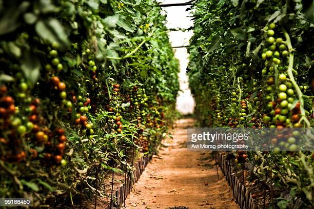 Cherry Tomatoes grown inside greenhouse