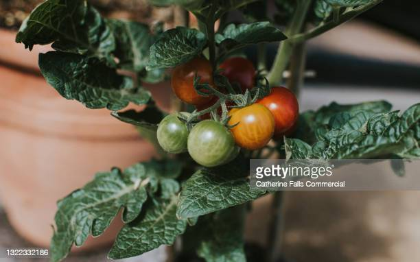 cherry tomatoes on a vine at various stages in the ripening process - salad stock pictures, royalty-free photos & images