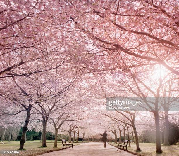 cherry tree allée - cherry blossom stock pictures, royalty-free photos & images