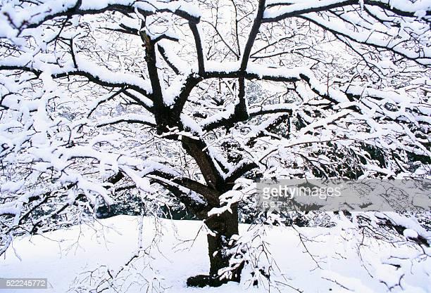 Cherry Tree and Snow