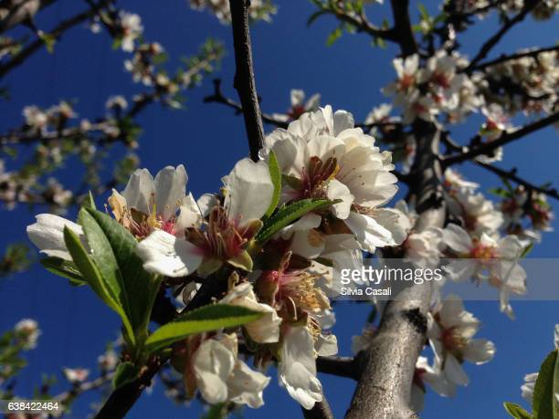 cherry tree blooming - silvia casali stock pictures, royalty-free photos & images