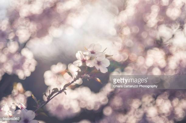 cherry tree blooming - gorizia stock pictures, royalty-free photos & images