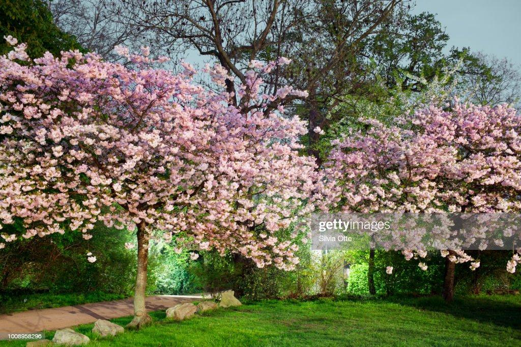 Cherry Tree Blossom at dusk : Stock-Foto