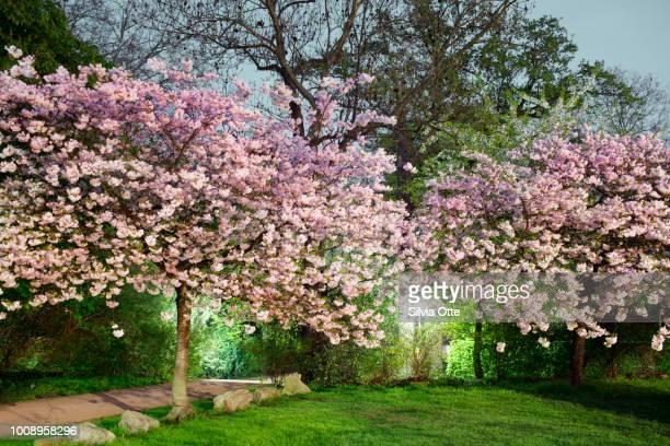 Cherry Tree Blossom at dusk