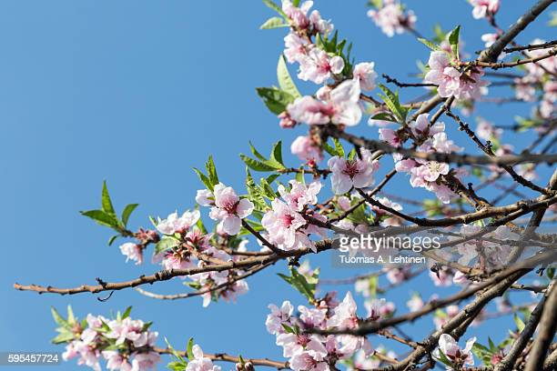 Cherry tree blossom in the spring and clear blue sky on background.