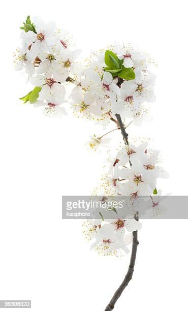サクラの木の花