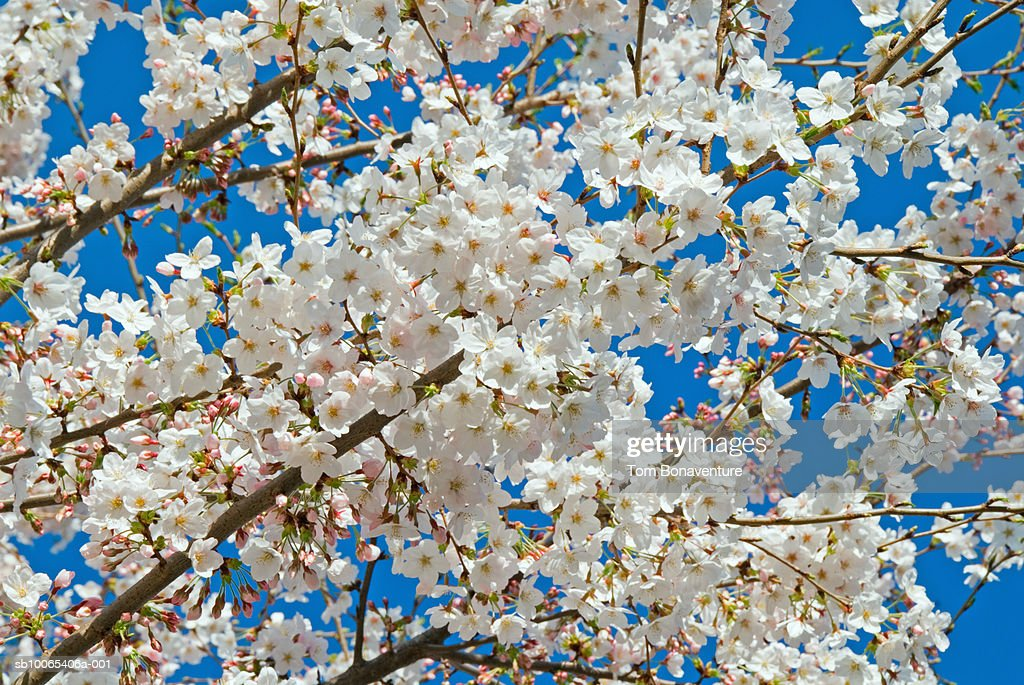 Cherry tree blossoming in spring, close up : Foto stock
