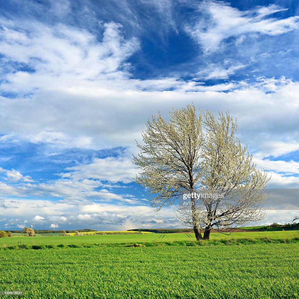 Árbol de cerezo en primavera Blossoming paisaje : Foto de stock