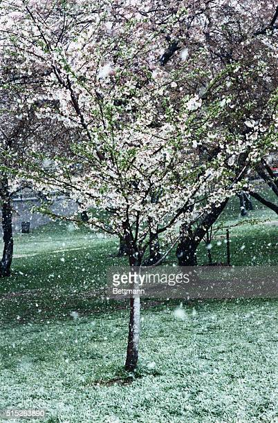 Cherry tree blossoming in the snow in Washington DC