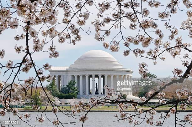 cherry tree flores marco, el monumento jefferson memorial in washington dc - ogphoto fotografías e imágenes de stock