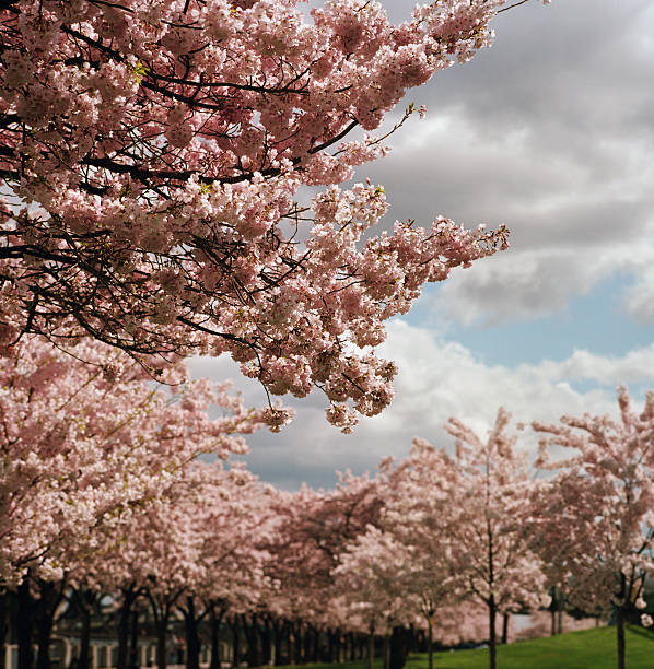 Cherry Tree Blossoms On Partly Cloudy Day Wall Art