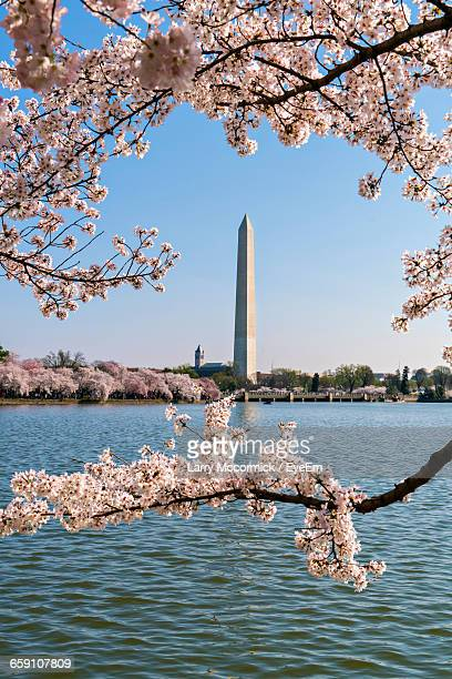 Cherry Tree By Tidal Basin With Washington Monument In Background