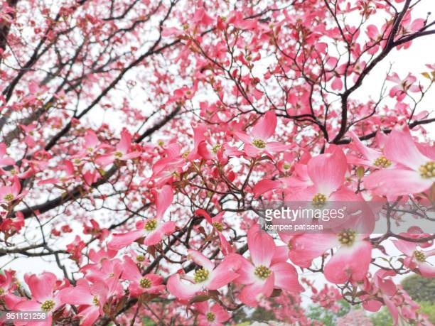 cherry tree flowers in tochigi prefecture, japan - peach flower stockfoto's en -beelden