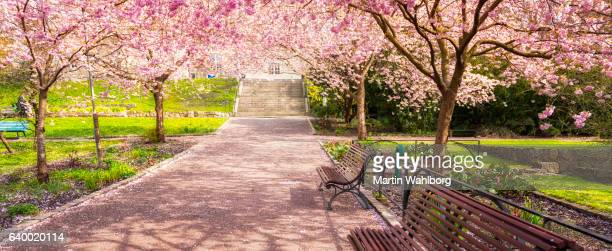 cherry tree garden panorama - japanese tree stock photos and pictures