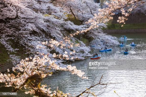 cherry tree in bloom and river, tokyo, japan - cherry blossom in full bloom in tokyo stock pictures, royalty-free photos & images