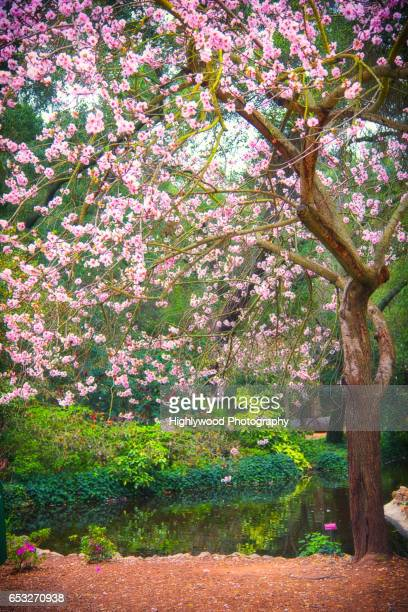 cherry tree in bloom - highlywood stock pictures, royalty-free photos & images