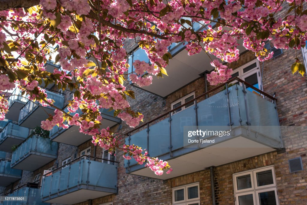 Cherry tree in bloom with pink flowers. Apartment building with balconies in the background : Foto de stock
